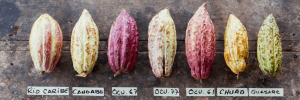 cacaobonen-van-willies-cacao