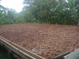 cacao bonen drogen na fermenteren