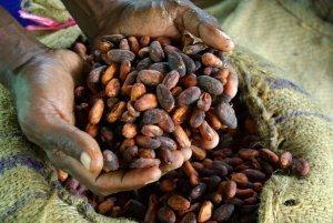 cacao in handen cacao boer