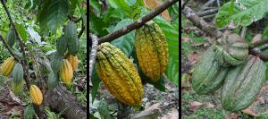 fino de arriba cacao uit ecuador van hoja verde