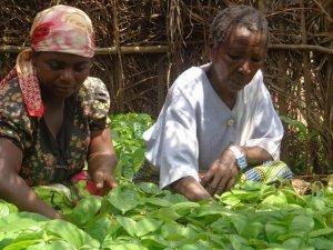 vrouwen verzorgen de cacao zaailingen