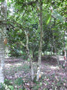 mesjokke cacaoboom