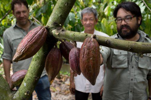 cacaoboer vietname marou mensen cacaoboon vrucht